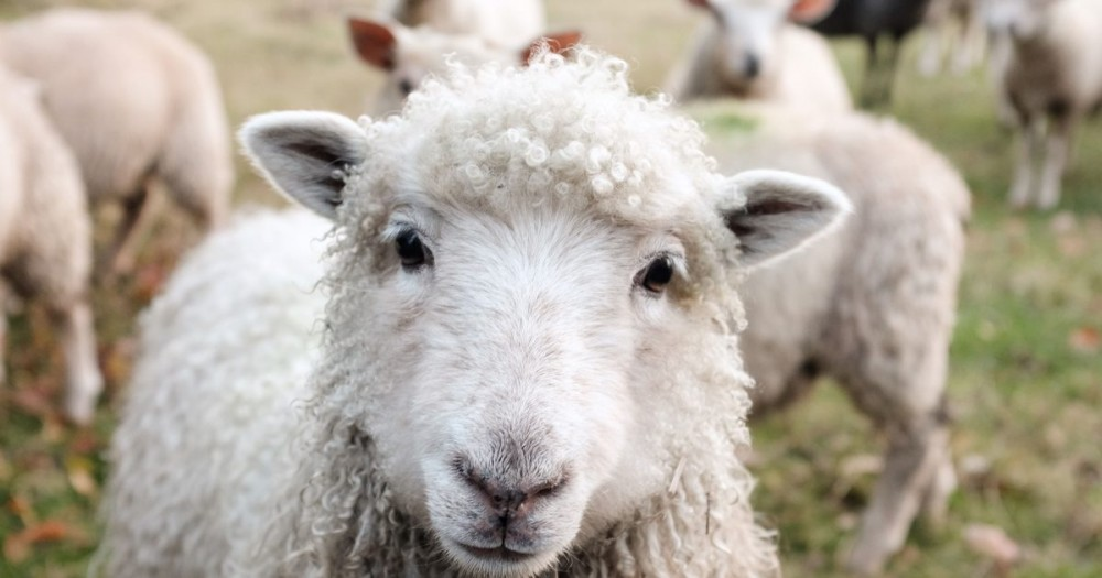 "A Festival was ""postponed"" due to sheep poo and people aren't happy"
